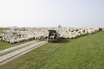 A stationery car and a flock of sheep