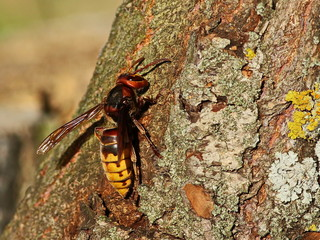 Asian giant hornet, Vespa mandarinia