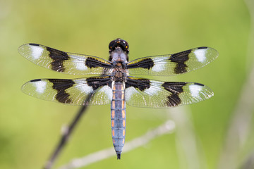 Eight-spotted Skimmer (Libellula forensic) Adult Male Perching. Skyline Ridge Open Space Preserve, Santa Clara County, California, USA.