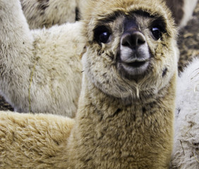 baby alpaca minow smiling at me