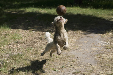 A dog playing with soccer ball