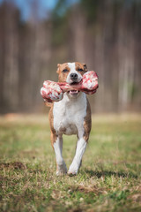 American staffordshire terrier dog running with a bone