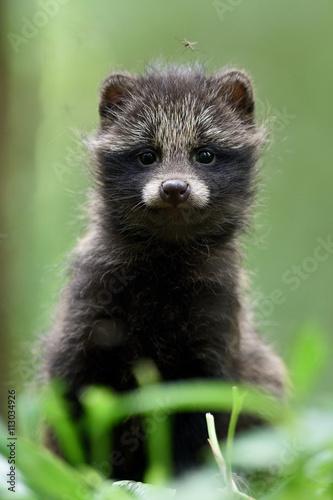 Raccoon dog pup  Raccoon dog kit  Raccoon dog cub