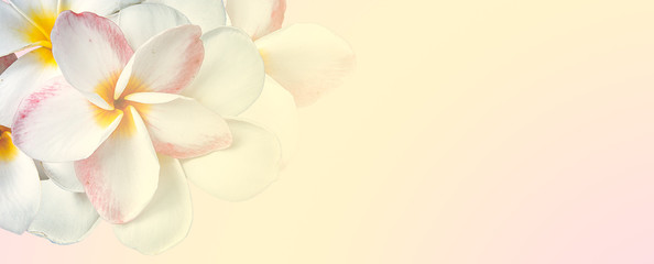 sweet color plumeria in soft and blur style on mulberry paper texture for background