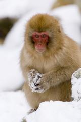 Young Japanese macaque (Macaca fuscata) (snow monkey), in the snow, Joshin-etsu National Park, Honshu, Japan, Asia
