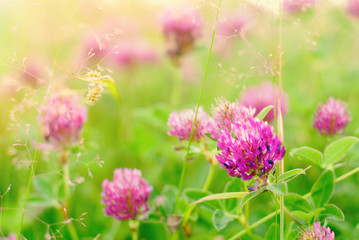 Summer Background. Flowers Background. Clover Meadow.