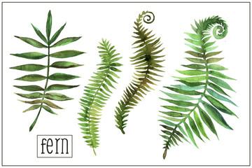 Watercolor fern