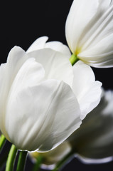 beautiful white tulip in the bouquet on a dark background  verti
