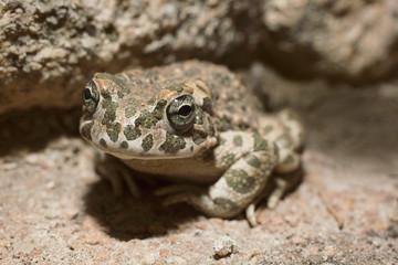 Close-up portrait of frog on rock