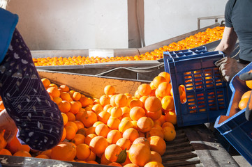 The production line of orange fruits: a worker unloading a fruit box in the defoliation machine