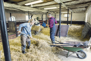 Man guiding woman in spreading hay at barn