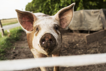 Close-up portrait of pig standing in farm