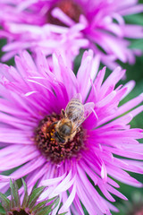 bee collecting pollen on a purple flower