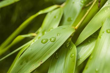 Macro water drops on bamboo leaf