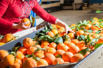 Tarocco orange fruits after the calibration process are checked before being packaged