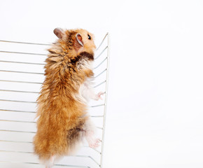 Hamster climbs up the cage