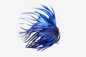 Blue Crown tail betta fish isolated on white background.