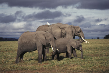 Kenya, Amboseli National Park, Baby African Elephant with family,