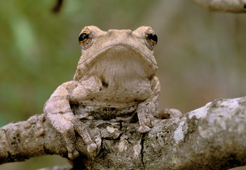 Africa, South Africa, Phinda Preserve. Tree frog