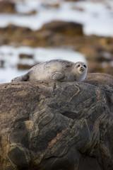 Ringed Seal (Phoca hispida) on rock in Hudson Bay, Churchill,  MB