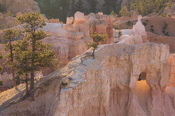 Tree clinging to rock at sunrise, Bryce Canyon National Park, Utah, United States of America, North America