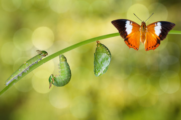 Life cycle of Tawny Rajah butterfly