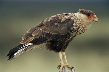 A Southern caracara, Torres del Paine National Park, Patagonia, Chile, South America