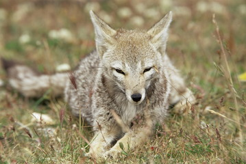 Patagonian grey fox (Dusicyon griseus griseus), Torres del Paine National Park, Patagonia, Chile, South America