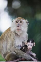 Macaque monkeys in Lake Gardens, Kuala Lumpur, Malaysia, Southeast Asia, Asia