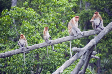 Proboscis monkey, Labuk Bay Proboscis Monkey Sanctuary, Sabah, Borneo, Malaysia, Southeast Asia, Asia