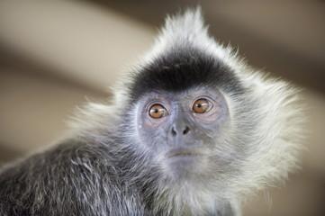 Silver Leaf Langur monkey, Labuk Bay Proboscis Monkey Sanctuary, Sabah, Borneo, Malaysia, Southeast Asia, Asia