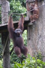 Cid, a wild Orang Utan at Sepilok Orang Utan Rehabilitation Centre, Borneo, Malaysia, Southeast Asia, Asia