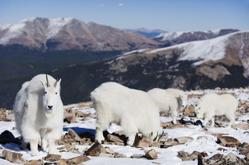 Mountain goat (antelope) in winter coats on Quandary Peak, a mountain above 14000 feet, known as a 14er, Colorado, United States of America, North America