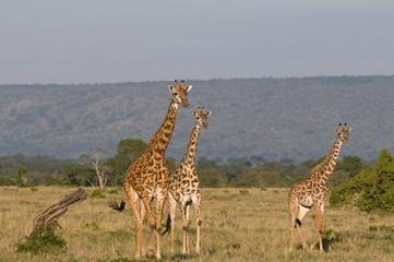 Masai giraffe (Giraffa camelopardalis), Masai Mara National Reserve, Kenya, East Africa, Africa