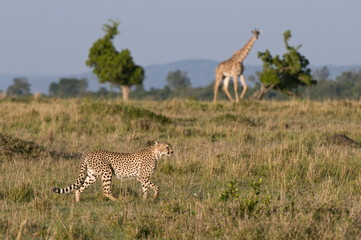 Cheetah (Acinonyx jubatus) and Masai giraffe (Giraffe camelopardalis), Masai Mara National Reserve, Kenya, East Africa, Africa