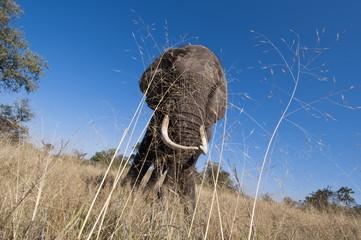 Elephant (Loxodonta africana), Abu Camp, Okavango Delta, Botswana, Africa