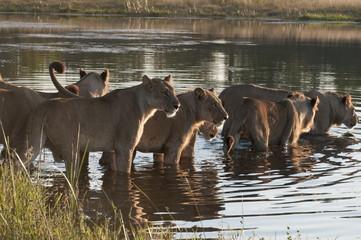 Lion pride (Panthera leo) crossing Savute Channel, Linyanti, Botswana, Africa