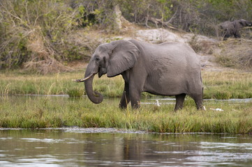 Elephant (Loxodonta africana), Savute Channel, Linyanti, Botswana, Africa