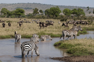 Zebra (Equus quagga), Masai Mara, Kenya, East Africa, Africa