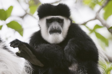 Black and white colobus monkey (Colobus guereza), Samburu National Park, Kenya, East Africa, Africa