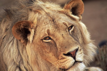 Close-up of a lion (Panthera leo), Mashatu Game Reserve, Botswana, Africa