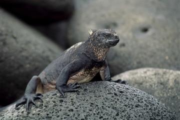 Close-up of a marine iguana, Galapagos Islands, Pacific Ocean, Ecuador, South America