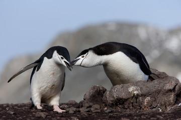 Chinstrap penguins (Pygoscelis antarctica), Aitcho Island, Antarctica, Polar Regions