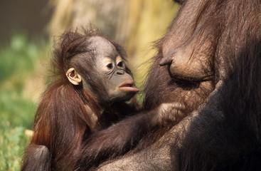 Orang-Utan, (Pongo pygmaeus), Apenheul Zoo, Netherland