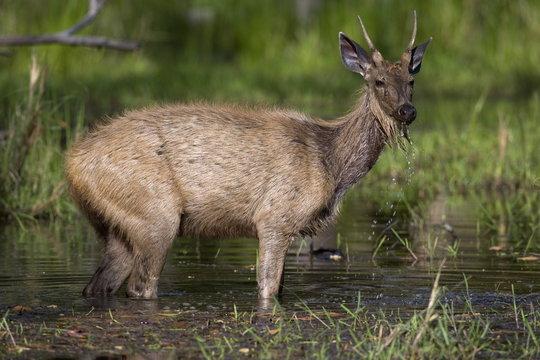 Sambar Deer, (Cervus unicolor), Bandhavgarh N.P., Madhya Pradesh