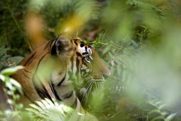 Female Indian tiger (Bengal tiger) (Panthera tigris tigris), Bandhavgarh National Park, Madhya Pradesh state, India, Asia