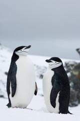 Chinstrap penguins (Pygoscelis antarcticus), Half Moon Island, Antarctic Peninsula, Drake Passage, Weddell Sea, Antarctica, Polar Regions