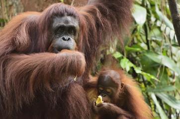 Orangutan (Pongo borneo), Semenggoh Wildlife Reserve, Sarawak, Borneo, Malaysia, Southeast Asia, Asia