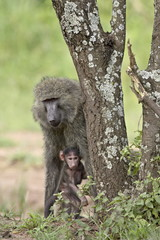 Olive baboon (Papio cynocephalus anubis) mother and infant, Serengeti National Park, Tanzania, East Africa, Africa