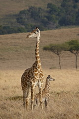 Mother and baby Masai Giraffe (Giraffa camelopardalis tippelskirchi) just days old, Masai Mara National Reserve, Kenya, East Africa, Africa